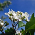 Winterking Hawthorn Flower_Internet
