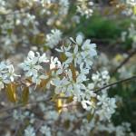 alleghany luster serviceberry flower_internet
