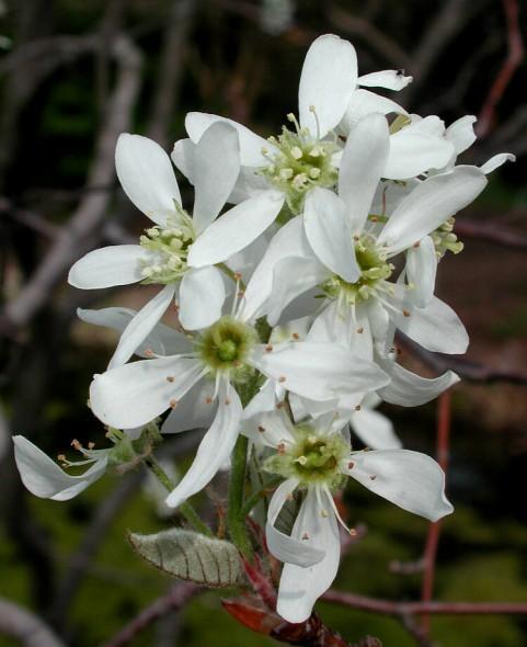 allegheny serviceberry flower_internet