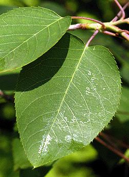 allegheny serviceberry foliage_internet