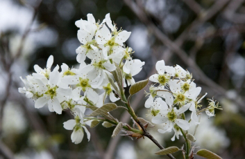 autumn brilliance serviceberry flower_internet