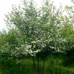 multi-stem winterking hawthorne