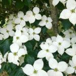 Venus Dogwood Flower