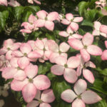Heartthrob dogwood (cornus) flower