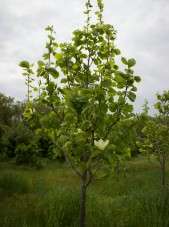 Magnolia Butterfly tree