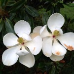 Southern magnolia 2