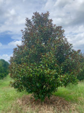 Brackens Brown Magnolia Tree in the Summer