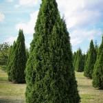 20140819-Emerald Green Arborvitae (1)