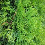 20140819-Emerald Green Arborvitae (2)