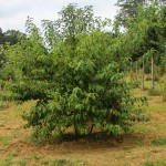 Multi-stem Black Cherry (2)