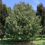 styrax-obassia-summer