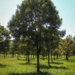20140827-Paperbark Maple (1)