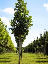 20140829-Emerald City Tulip Tree (1)