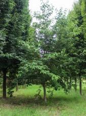 Celestial Dogwood (1)