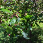 Single Stem Prairifire Crabapple (3)
