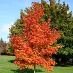 fall fiesta sugar maple tree_internet