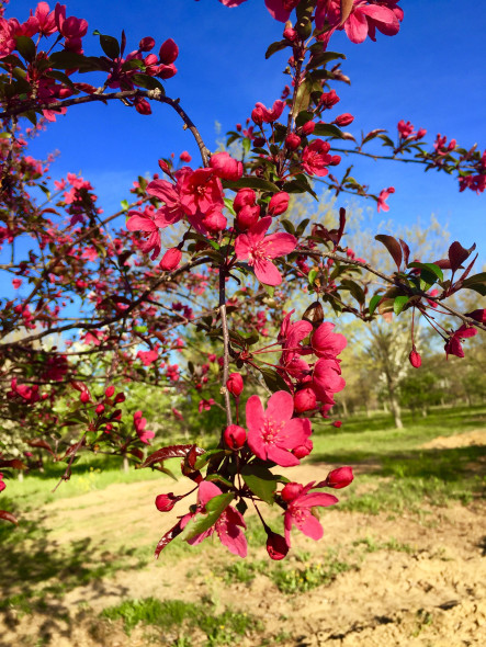 prairie-fire-crabapple-flower