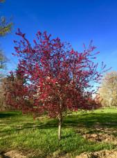 prairie-fire-crabapple-spring