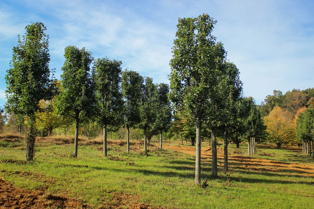 Pleached Chanticleer Pear