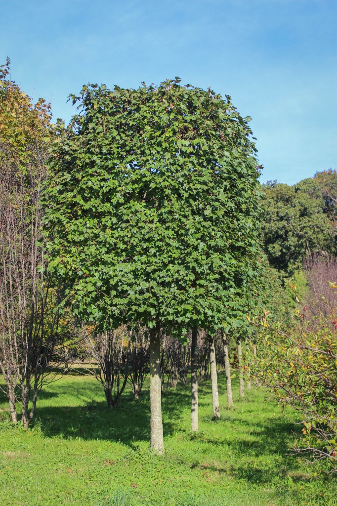 Pleached Hedge Maple
