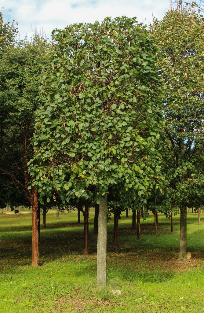 Pleached Little Leaf Linden