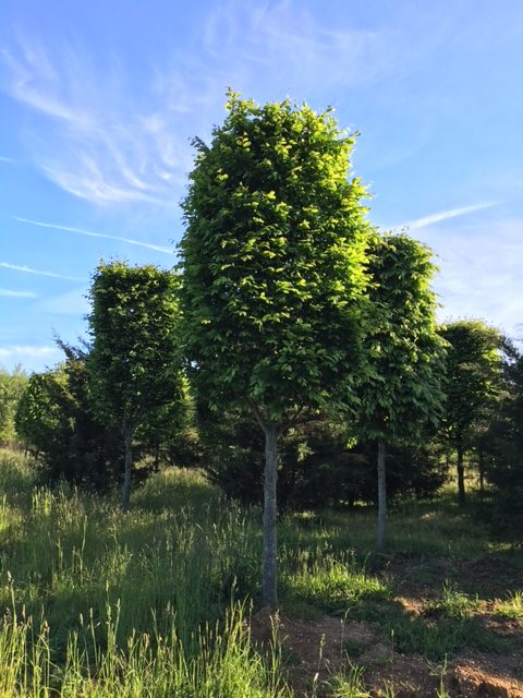 Carpinus betulus – European Hornbeam