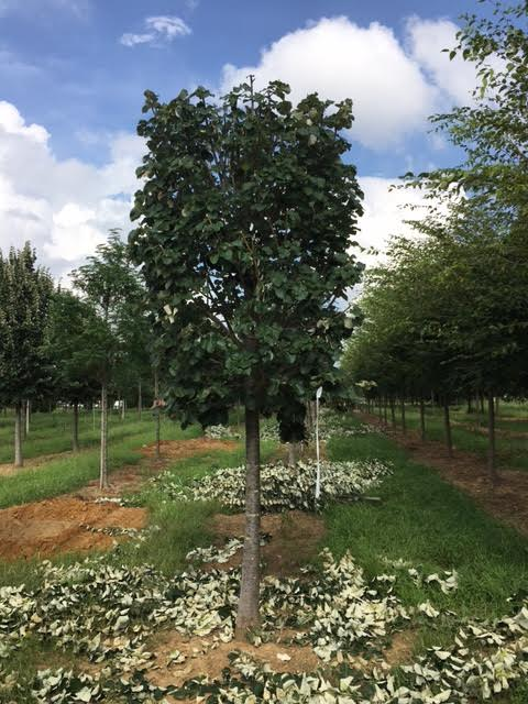 Pleached Silver Linden