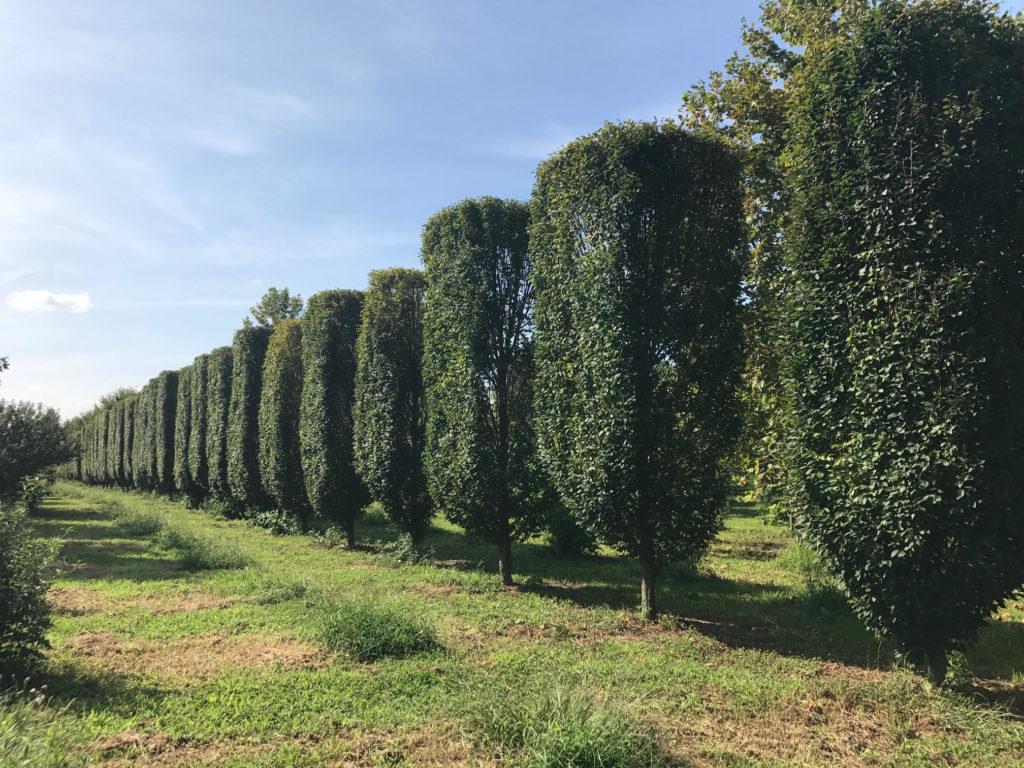 Pleached Carpinus betulus 'fastigiata'