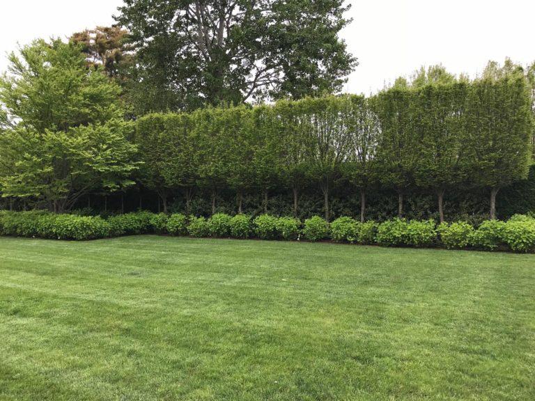 Pleached Hornbeam Aerial hedge