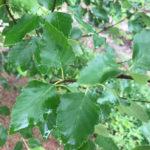 Betulus 'Heritage' Foliage