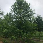 Betulus 'Heritage' Summer View