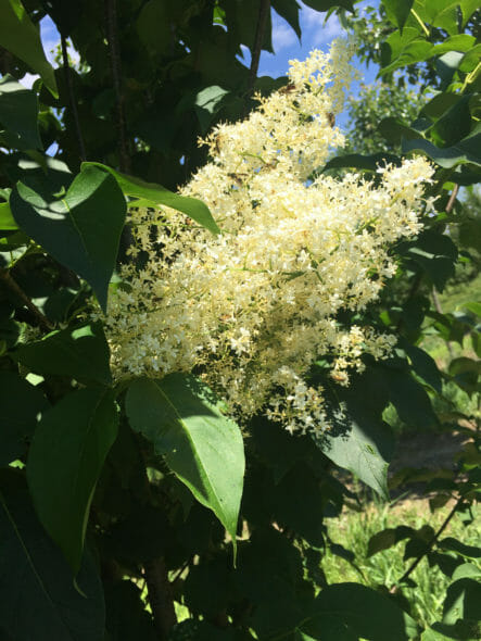 Japanese Lilac Flower