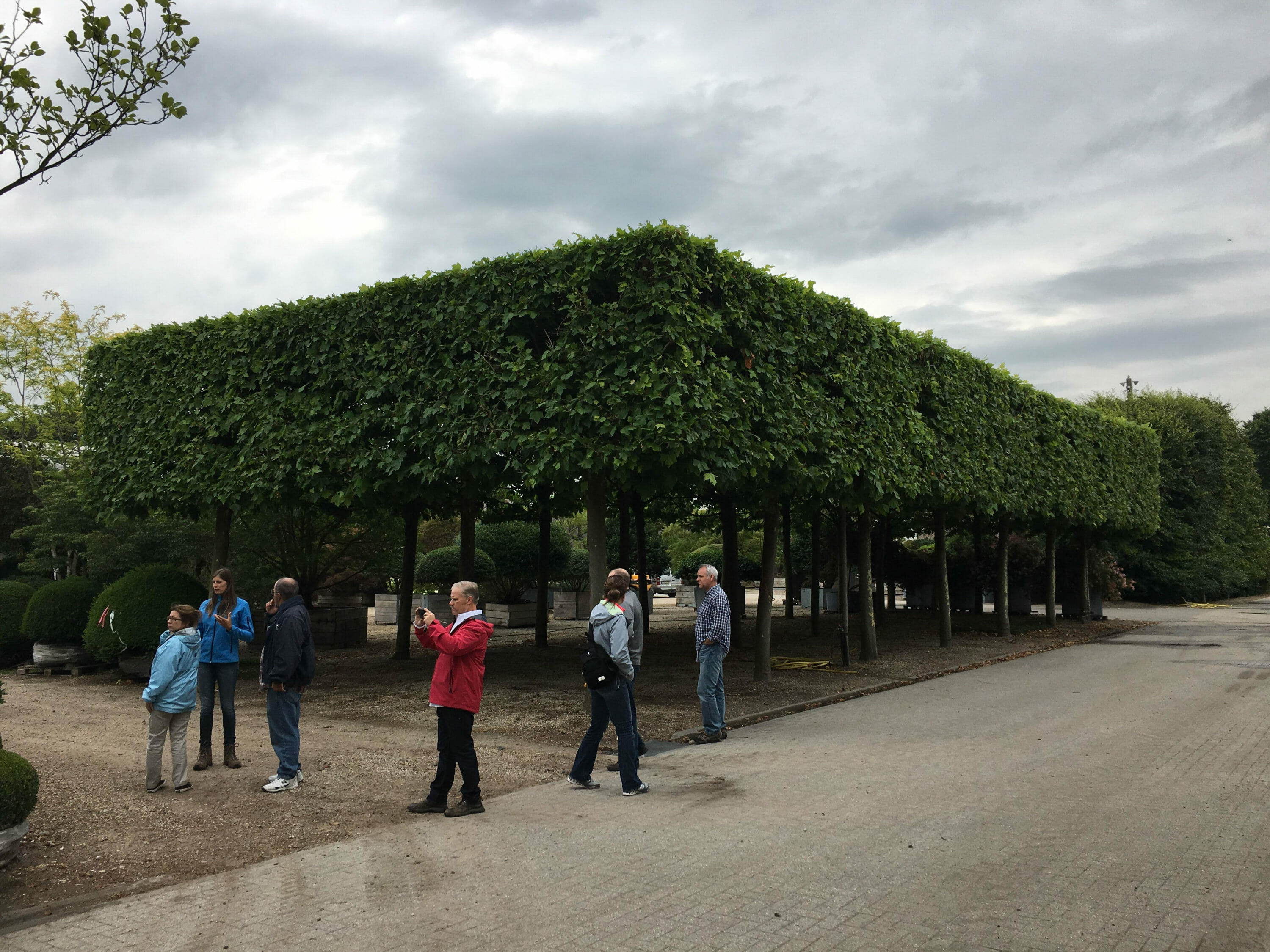 Pleached Platanus acerifolia hedge at Solitair Nursery in Belgium