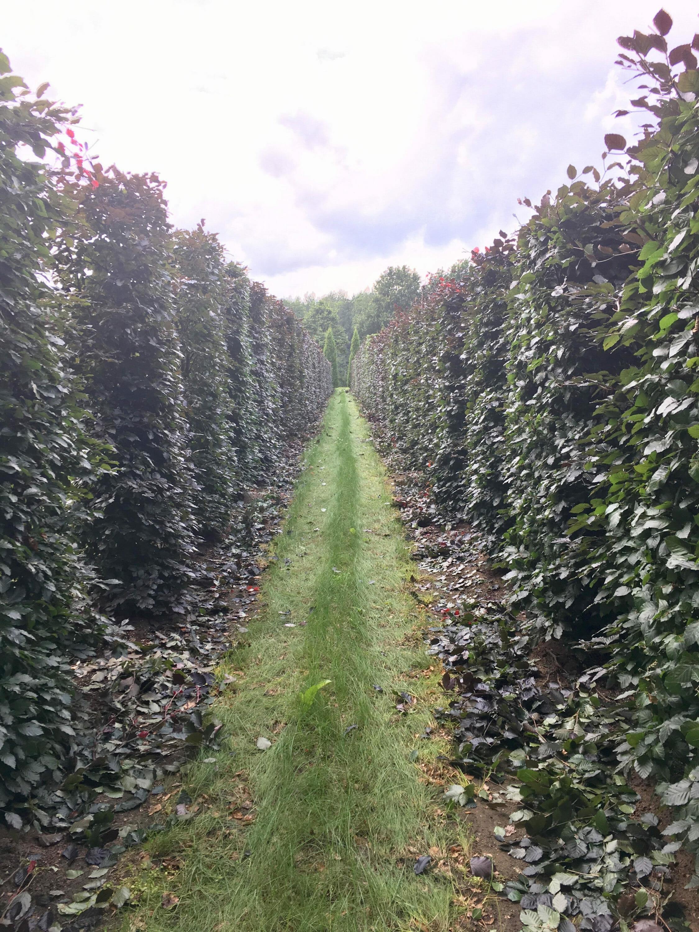 Rows of European Beech, mechanically sheered at Bruns Pflanzen in Germany