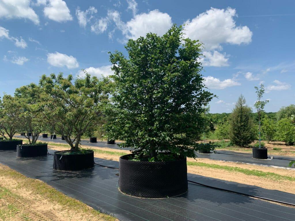 Globing & Paneling of Beech Trees